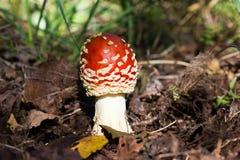 Красивый съестной гриб Стоковая Фотография