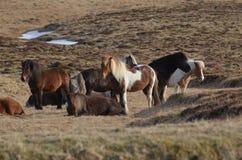 Красивый табун исландских лошадей стоя в поле Стоковая Фотография RF