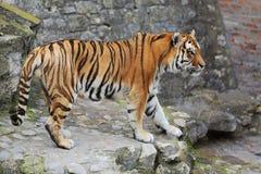 Красивый тигр идя на булыжник стоковые фотографии rf