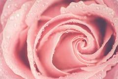 Красивый тонизированный макрос конца-вверх розы пинка, Стоковые Фото