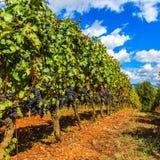 Красивый тосканский виноградник Стоковая Фотография
