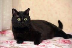 Красивый толстенький черный кот Стоковое Изображение