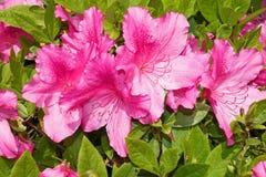 Красивый тропический розовый гибискус и свои листья Стоковое фото RF
