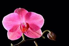 Красивый тропический розовый цветок орхидеи Стоковое Фото
