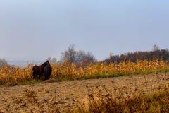 Красивый туманный ландшафт и лошади осени пася Стоковые Изображения