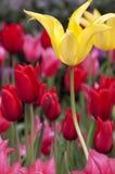 Красивый тюльпан весны цветет предпосылка Стоковые Фото