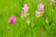Красивый тюльпан Сиама Стоковая Фотография RF