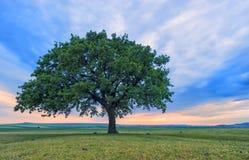 Красивый дуб на заходе солнца и небе Стоковая Фотография
