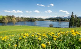 Красивый луг цветка на береге и снеге озера покрыл горы Стоковые Изображения