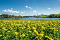 Красивый луг цветка на высокогорных озере и снеге покрыл горы Стоковое фото RF