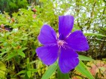 Красивый уединённый фиолетовый пинк Стоковое фото RF