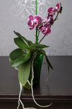 Красивый фаленопсис орхидеи стоковая фотография rf