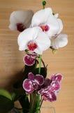 Красивый фаленопсис орхидеи стоковые фотографии rf