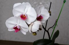 Красивый фаленопсис орхидеи стоковая фотография