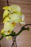 Красивый фаленопсис орхидеи стоковые фото
