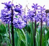 Красивый фиолетовый конец-вверх гиацинта стоковые фото