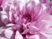 Красивый фиолетовый макрос chrysanth в солнечности Стоковое фото RF