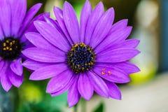 Красивый фиолетовый снятый цветок, макрос стоковое фото