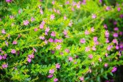 Красивый фиолетовый цветок hyssopifolia Cuphea, также известный как ложный Стоковые Изображения RF
