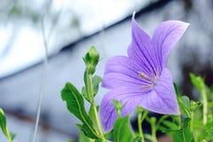 Красивый фиолетов-голубой цветок в саде Стоковая Фотография RF