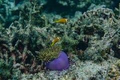 Красивый фиолетовый живой коралл с рыбами вокруг в океане на Мальдивах Стоковое Изображение