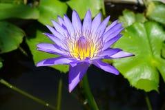 Красивый фиолетовый зацветать лотоса цветка Стоковые Фотографии RF