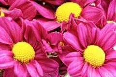 Красивый фиолетовый красный георгин flowers.Сloseup стоковая фотография