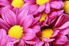 Красивый фиолетовый красный георгин flowers.Сloseup стоковое изображение