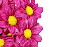 Красивый фиолетовый красный георгин flowers.Сloseup стоковое фото
