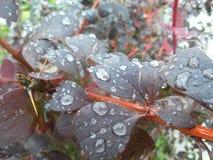 Красивый фиолетовый куст влажный от дождя Стоковые Фотографии RF