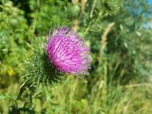 Красивый фиолетовый лопух среди зеленой травы Стоковая Фотография RF