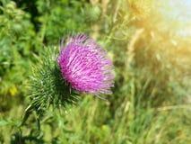 Красивый фиолетовый лопух среди зеленой травы Стоковое Изображение RF