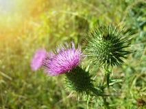 Красивый фиолетовый лопух среди зеленой травы Стоковое фото RF