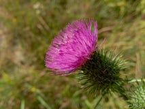 Красивый фиолетовый лопух среди зеленой травы Стоковые Фото