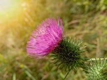 Красивый фиолетовый лопух среди зеленой травы Стоковые Изображения