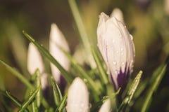 Красивый фиолетовый цветок крокуса с водой падает после дождя Селективный фокус против детенышей весны цветка принципиальной схем Стоковая Фотография RF