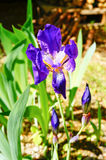 Красивый фиолетовый цветок радужки Цветок лета Стоковая Фотография RF