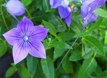 Красивый фиолетовый цветок Стоковые Фото
