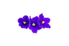 Красивый фиолет на белой предпосылке с космосом для вашего текста или Стоковое Изображение