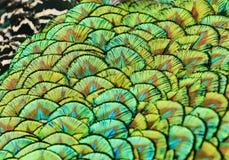 Красивый фон ярких, красочных пер peaco птицы Стоковое фото RF