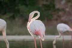 Красивый фламинго царапая в озере Стоковые Фото