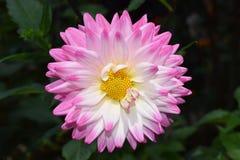 Красивый флористический белый и розовый цветок георгина Стоковая Фотография
