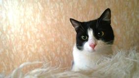 Красивый худенький молодой черно-белый кот смотрит шаловливым на кровати стоковые фото