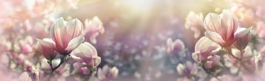Красивый цвести, зацветая дерево - красивый blossomed цветок магнолии стоковые фото