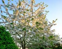 Красивый, цветение вишневого дерева увиденное на молодом дереве, как замечено в сельском саде Стоковые Фото
