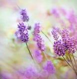 Красивый цветок лаванды Стоковое Фото