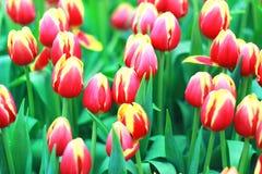 Красивый цветок лаванды Стоковая Фотография RF
