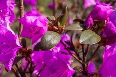 Красивый цветок азалии в саде стоковая фотография