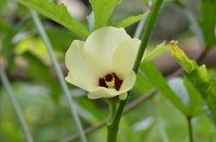Красивый цветок бамии в саде Стоковое Фото