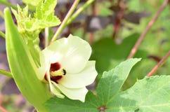 Красивый цветок бамии с плодоовощ, естественным Стоковые Изображения RF